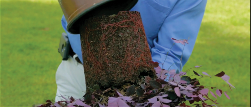 taking-loropetalum-root-ball-out-of-container-to-plant.png