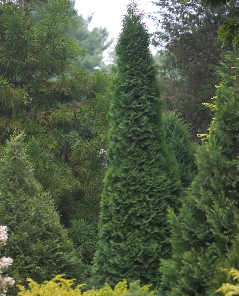 tall-arborvitae-with-dark-green-foliage.jpg