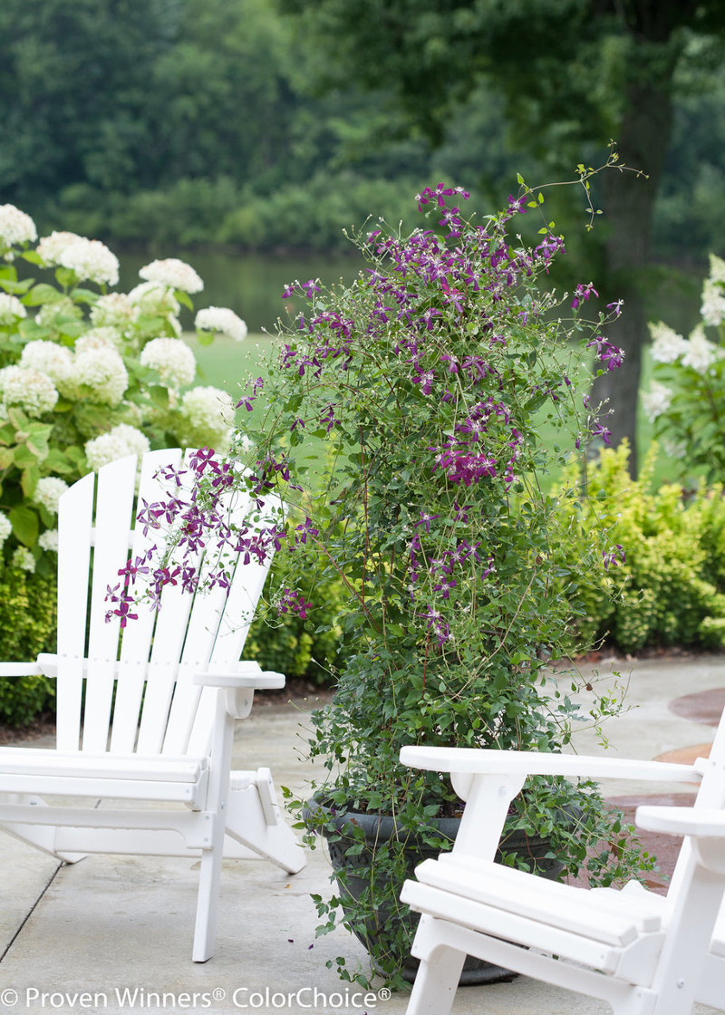 tall-clematis-growing-in-container.jpg