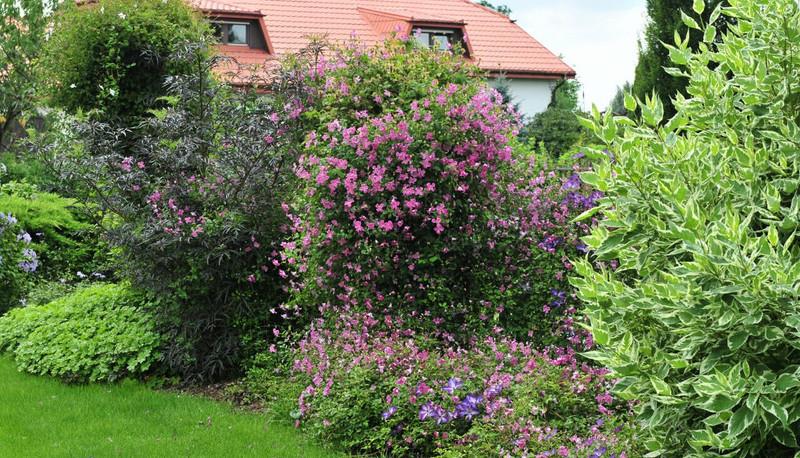 tall-clematis-growing-in-the-garden.jpg