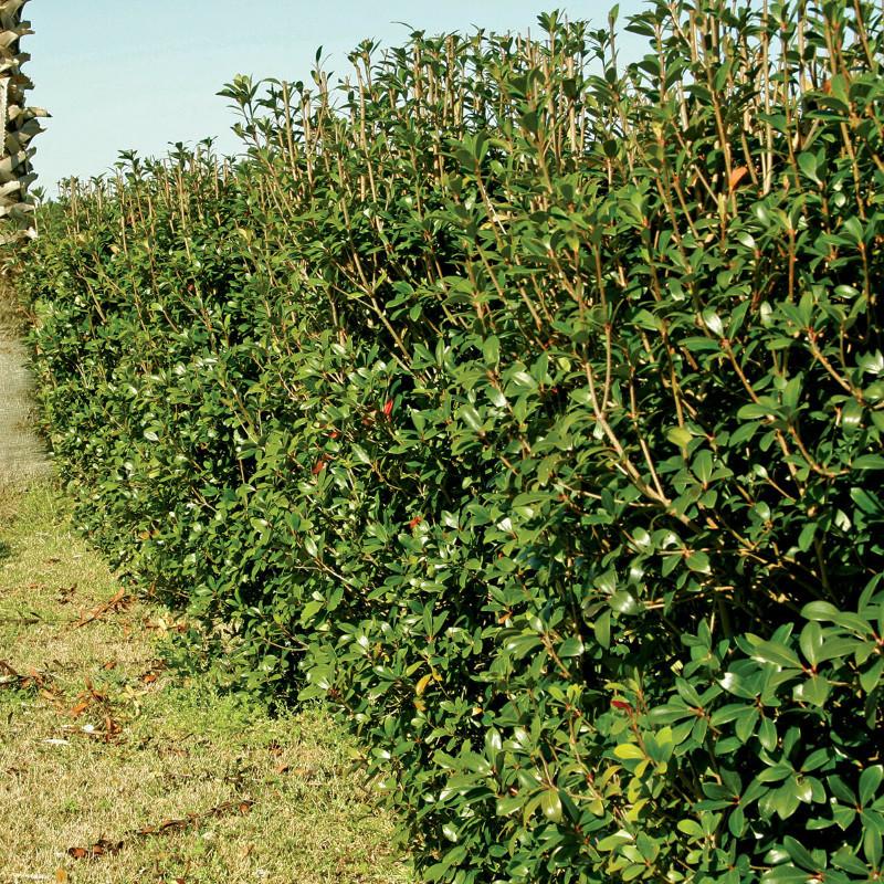 tall-cleyera-hedge.jpg