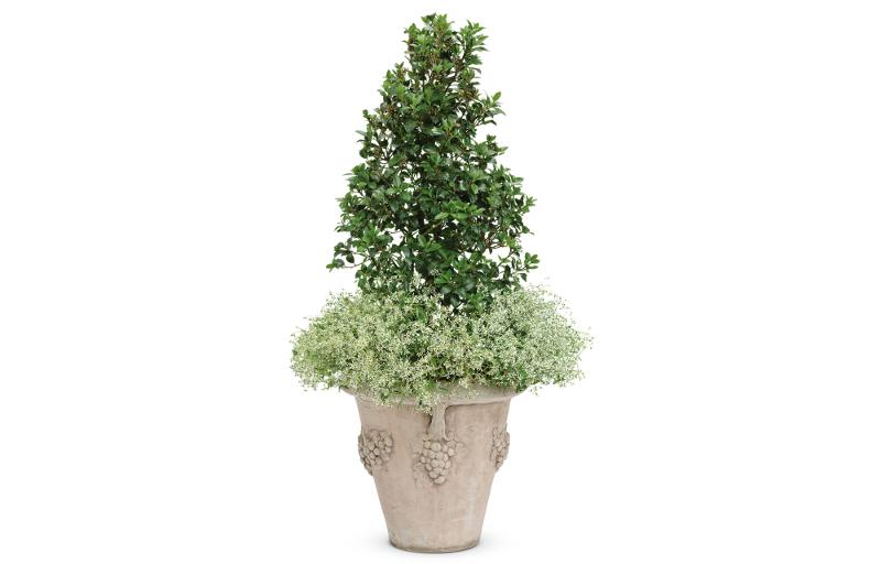tall-holly-shrub-in-planter.jpg
