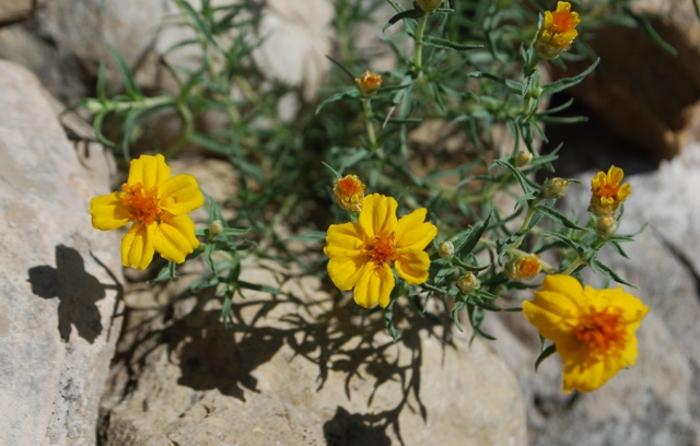 the-prairie-or-desert-zinnia.jpg