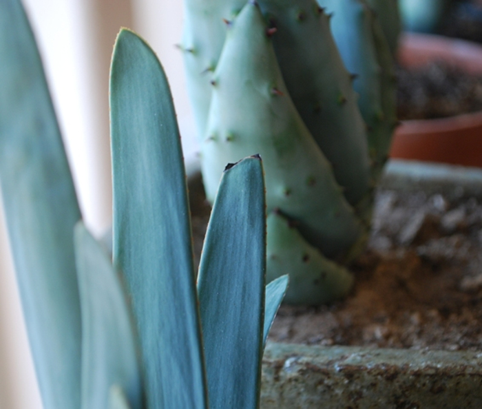 these-aloes-have-larger-leaves-but-they-lose-less-water-to-evaporation.jpg