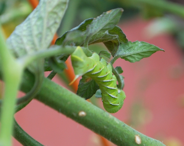 tobacco-hornworm-clings-to-the-underside-of-a-tomato-plant-branch.jpg