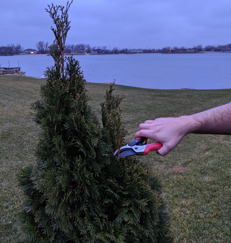 trimming-arborvitae-growth-with-hand-pruners.jpg