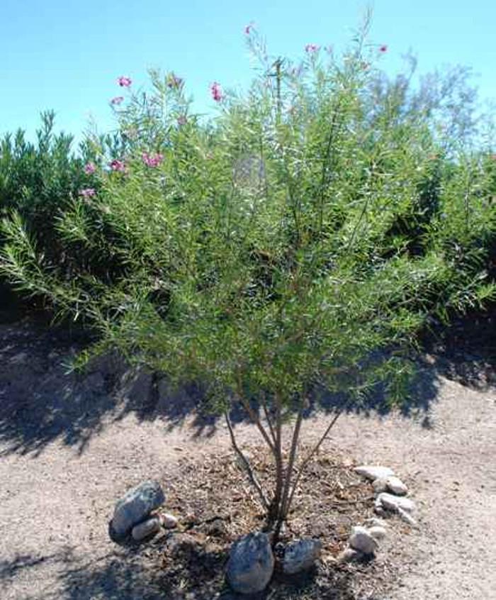 tucson-desert-willow-watering-mature-tree.jpg