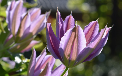 tulip-shaped-clematis-flower.jpg