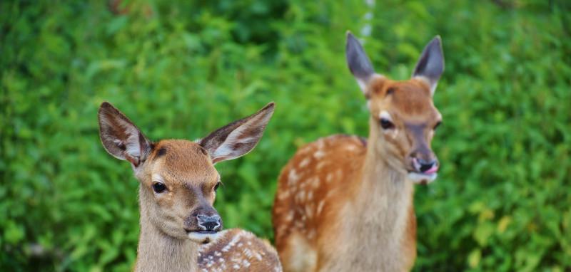 two-deer-next-to-large-shrubs.jpg