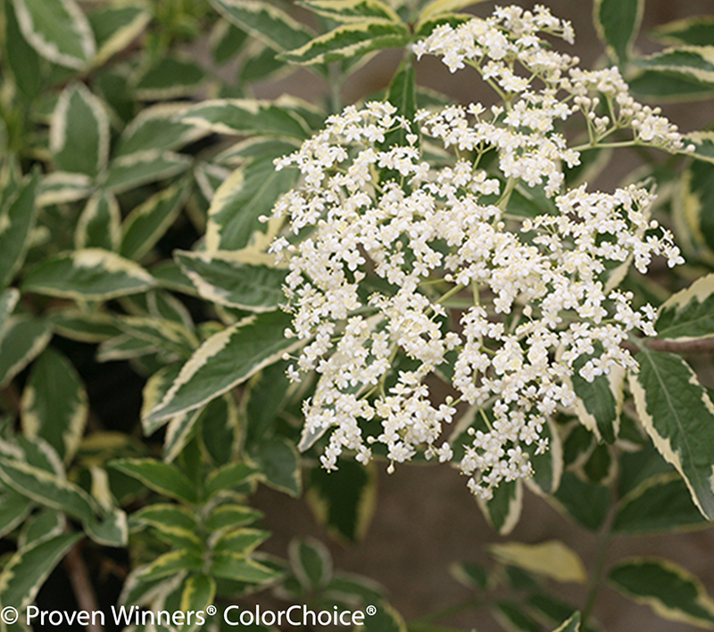 variegated-elderberry-foliage-and-flowers.jpg