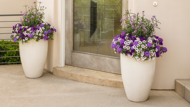 verbena-growing-in-front-door-planters.jpg