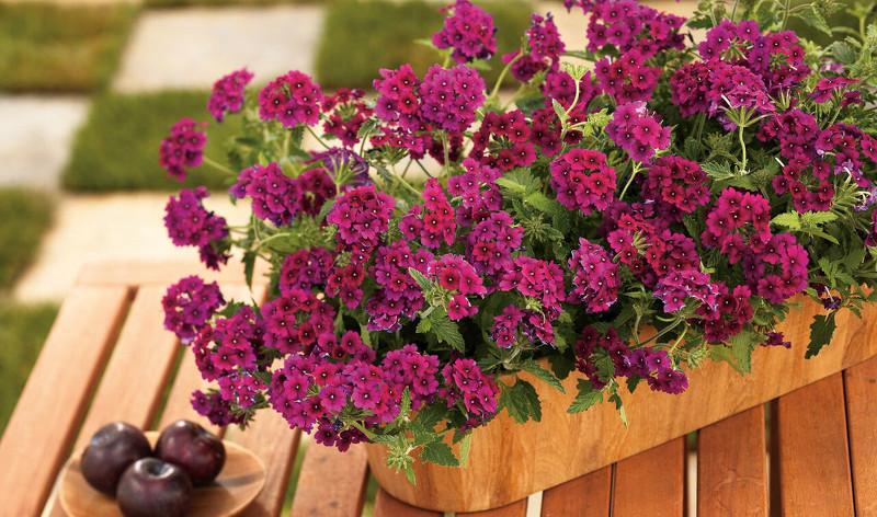 verbena-growing-in-patio-table-planter.jpg