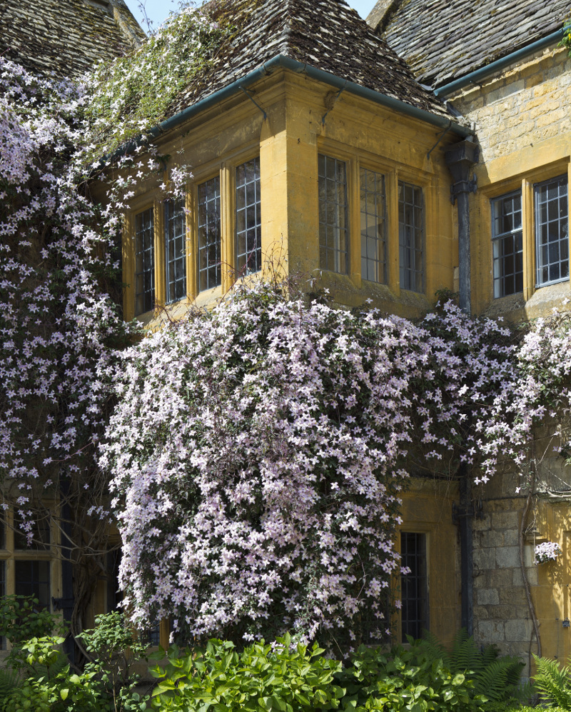 very-tall-clematis-growing-on-building.jpg