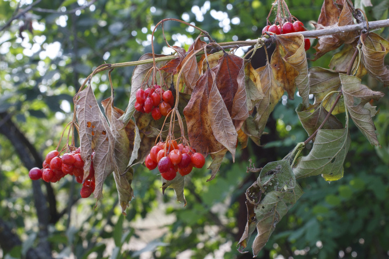 viburnum-branch-in-the-fall-with-berries.jpg