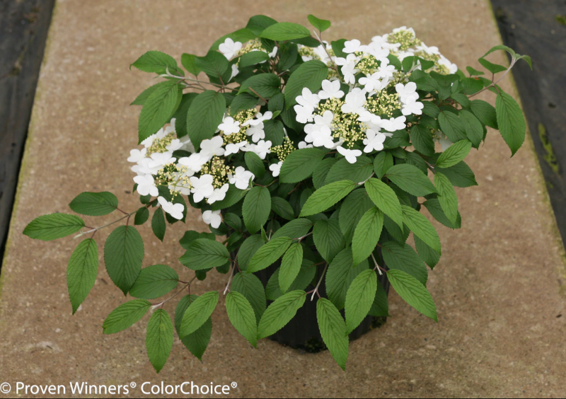viburnum-bush-in-garden-planter.png