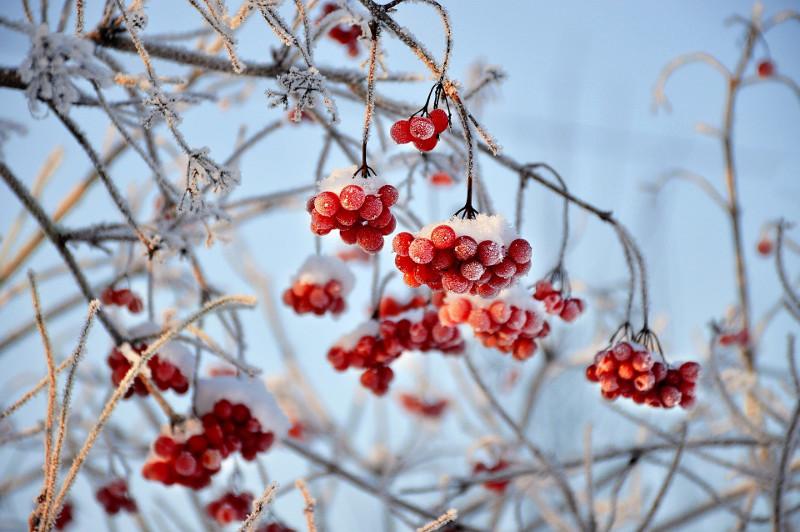 viburnum-covered-in-ice.jpg