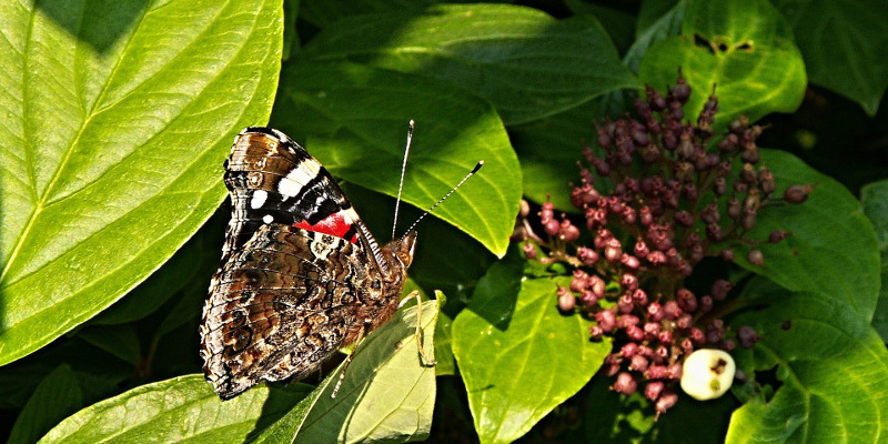 viburnum-flower-with-butterfly.jpg