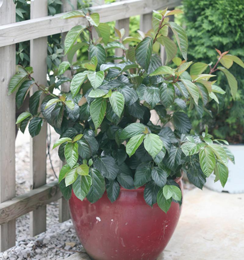 viburnum-growing-in-patio-planter.png