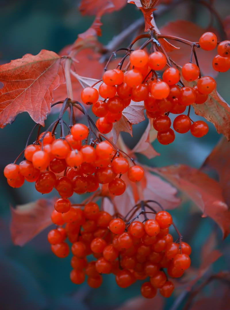 viburnum-in-the-fall.jpg