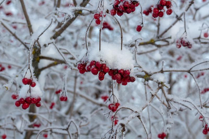 viburnum-in-the-winter-covered-in-snow.jpg
