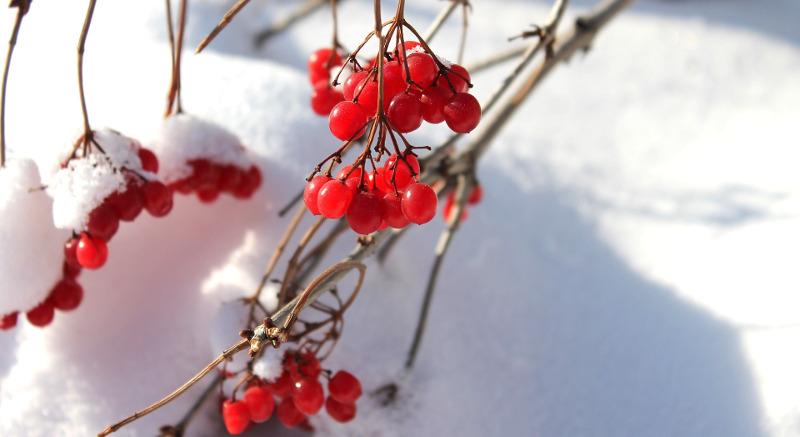 viburnum-in-the-winter.jpg