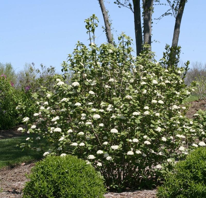 viburnum-shrub-in-the-summer-sunlight-ready-for-pruning.jpg
