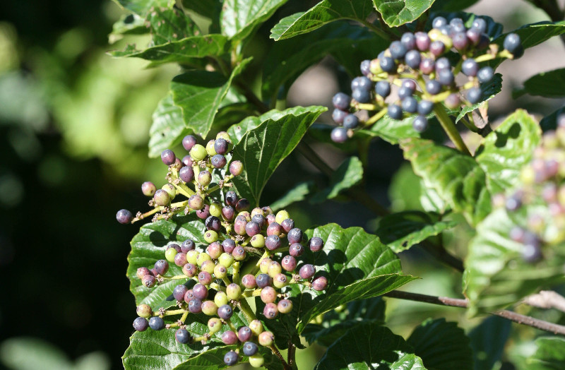 viburnum-with-shiny-foliage-and-berries.jpg