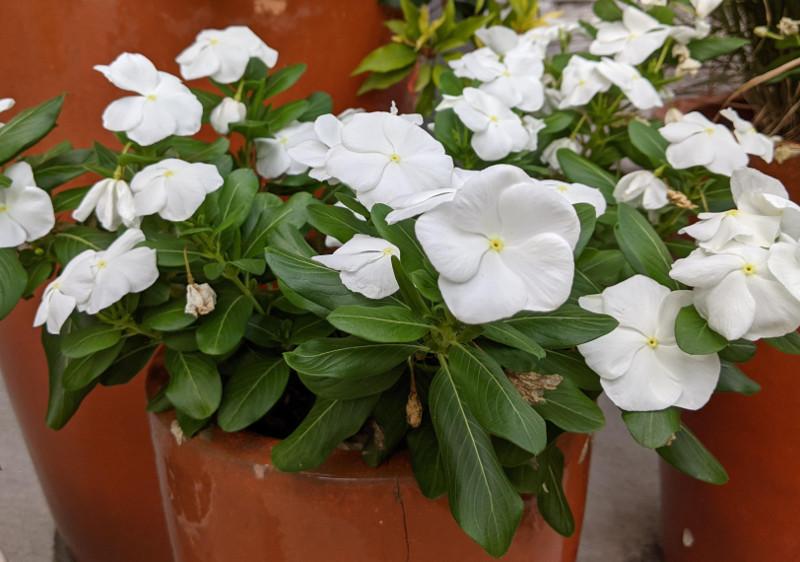 vinca-planted-in-a-garden-planter.jpg