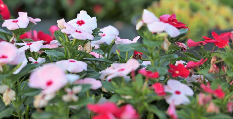 vinca-plants-blooming.jpg