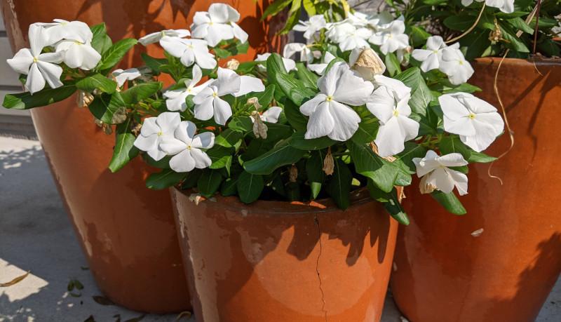 vinca-plants-growing-in-planters.jpg