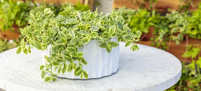 vinca-vine-growing-in-tabletop-planter.jpg