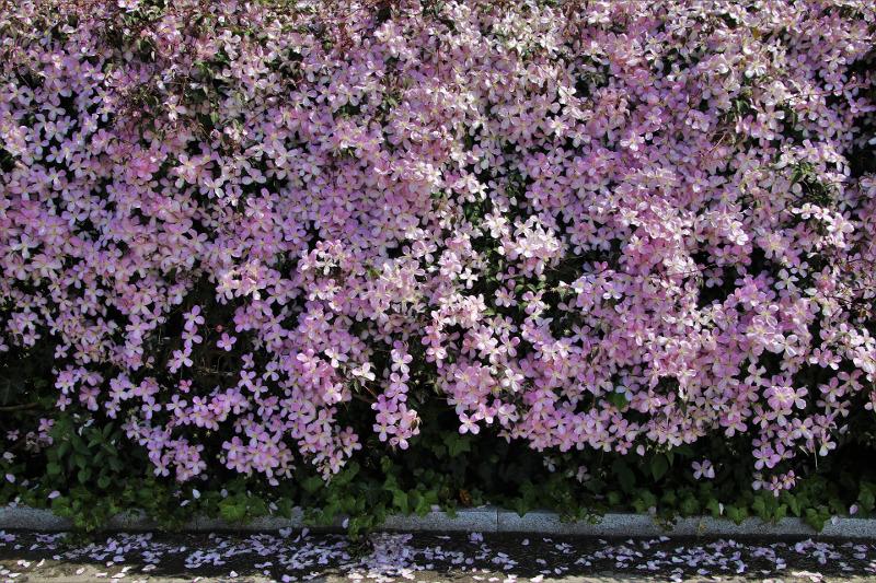 wall-of-blooming-clematis.jpg