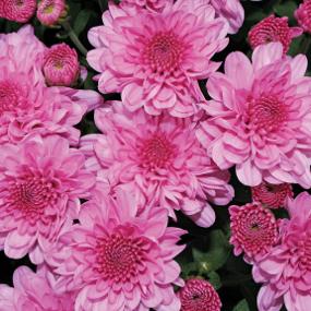 Wanda Lavender Garden Mum