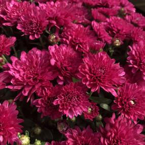 Wanda Purple Garden Mum