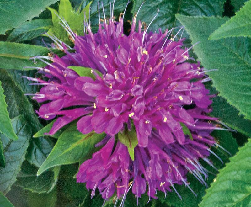 water-on-bee-balm-flower.jpg