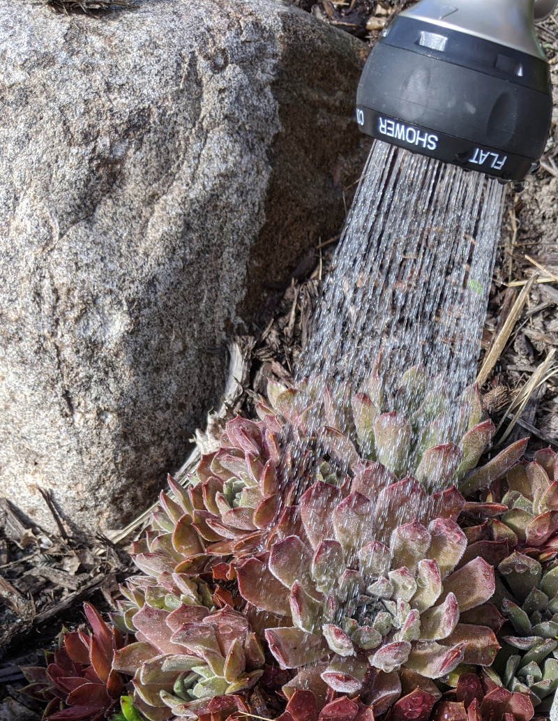 watering-hens-and-chicks.jpg
