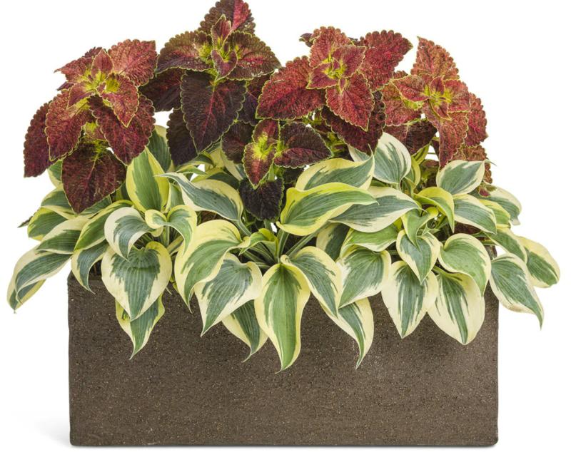 watering-hostas-with-coleus-in-garden-box.png