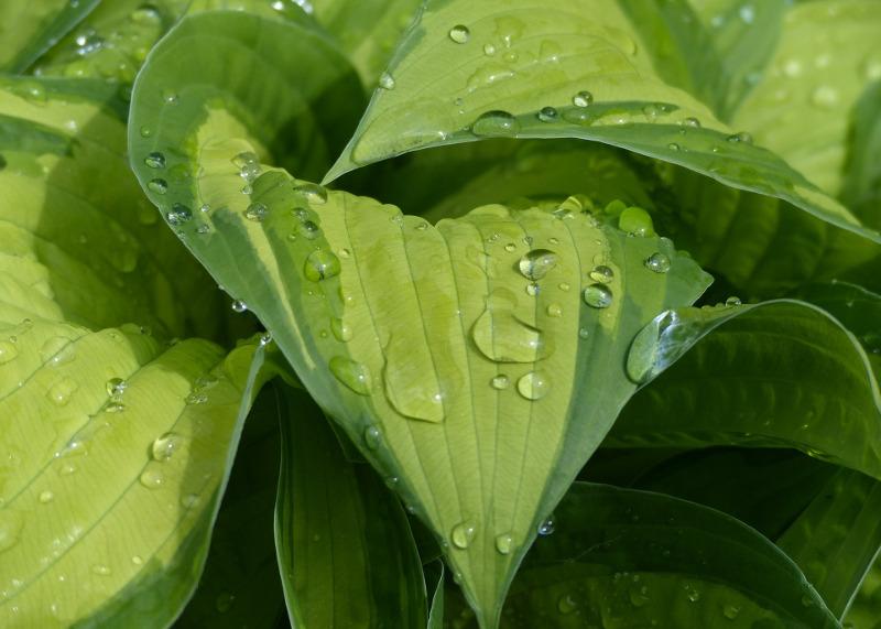 watering-hostas.jpg