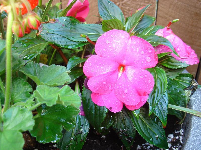 watering-impatiens-in-a-planter.jpg