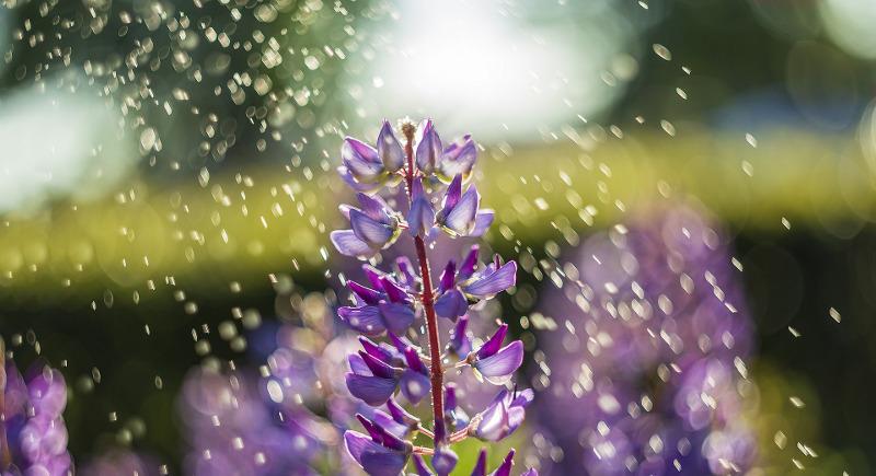 watering-lupine-plants.jpg
