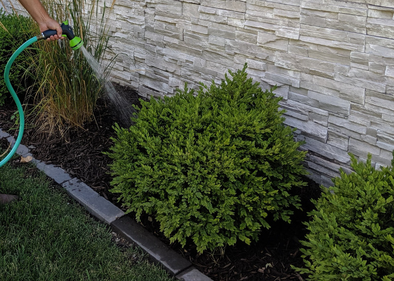 Watering Boxwood Shrubs