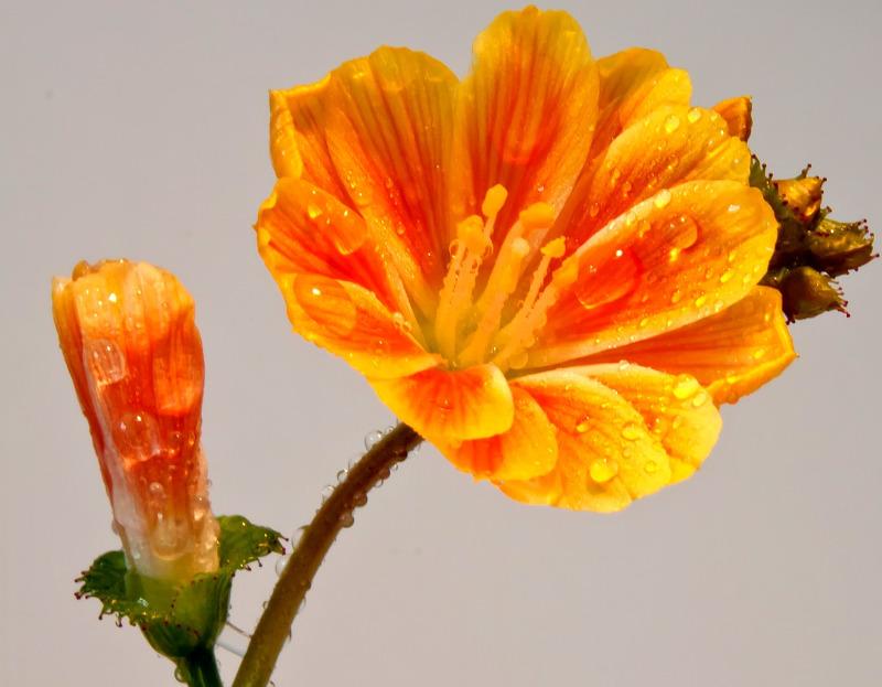 watering-nemesia-plants.jpg