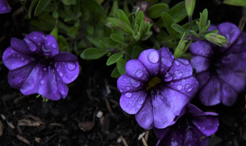 watering-petunia-plants.jpg