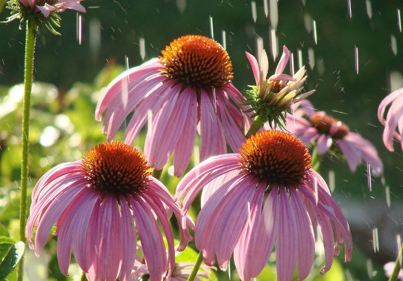 watering-pink-coneflowers.jpg