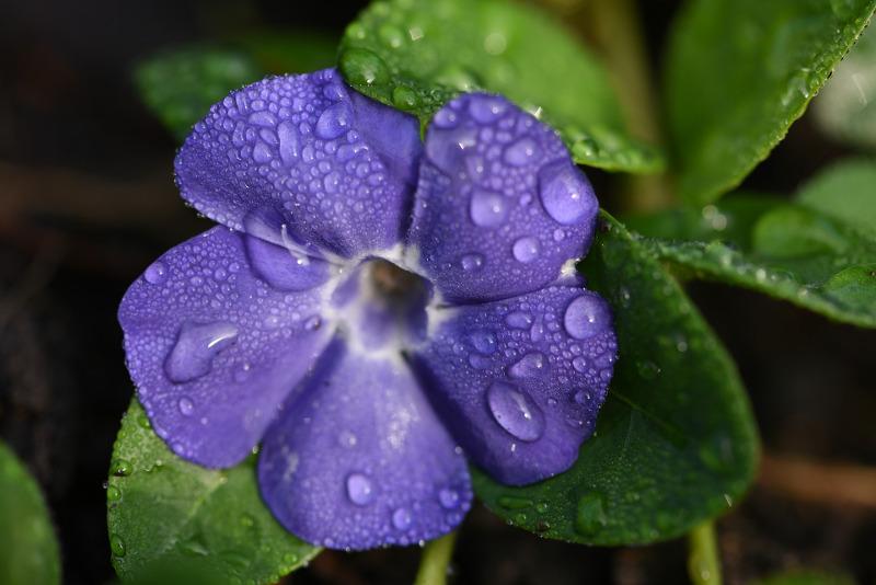 watering-vinca-plants.jpg