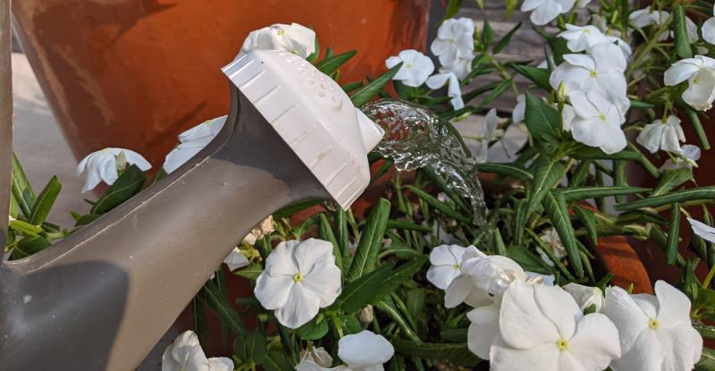 watering-vinca-with-watercan.jpg