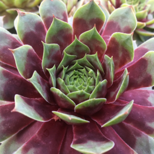 watermelon-ripple-hens-and-chicks.png