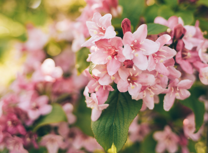 weigela-blooming-in-the-sunlight.jpg