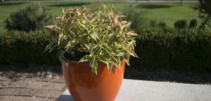 weigela-growing-in-a-planter.jpg