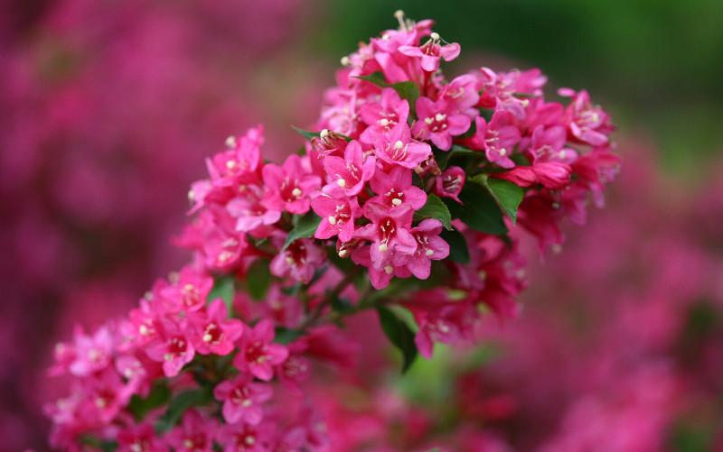 weigela-trumpet-flowers.jpg